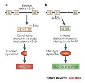 DMD vs BMD