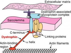 Dystrophin complex