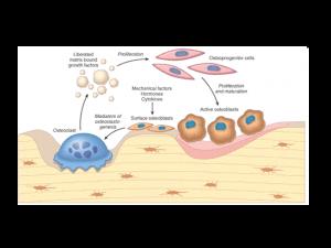 Various bone cells
