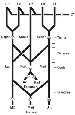 brachial plexus lesions Brachial Plexus And Its Injury