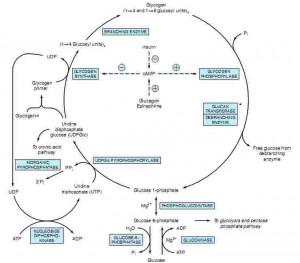 Glycogenesis and Glycogenolysis Pathway