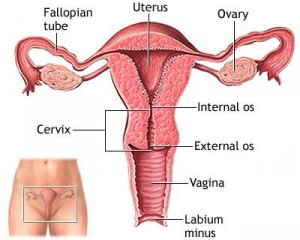 Fig.  Female reproductive system