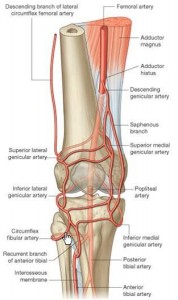 Blood supply of knee joint