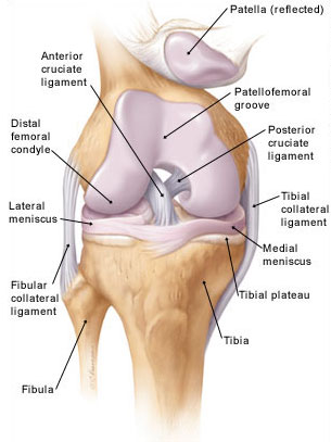 The Anatomy of Knee Joint | MEDCHROME