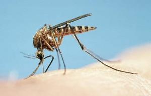 Aedes - dengue fever