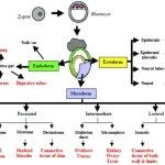 General Embryology Mnemonics