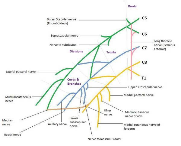Drawing Brachial plexus