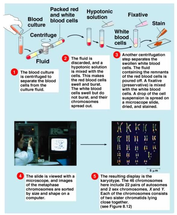 process of karyotyping Collect cell going through mitosis by blood test,cvs or amnitor fluidbreak open cell and release dnastain dna,pair up the chromosome and photograph the pairs.