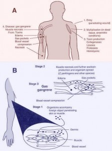 Pathogenesis of Myonecrosis