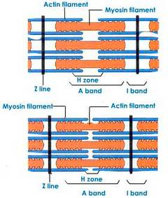 Mechanism of Skeletal Muscle Contraction