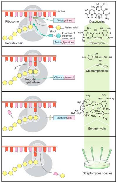 Antimicrobials mechanism of action Antibiotics: Inhibitors of Protein Synthesis