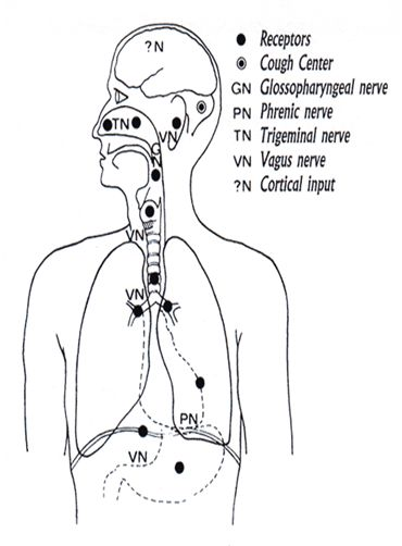 cough receptor Mechanism of Cough and Sneeze