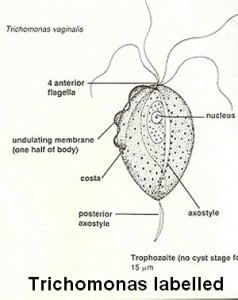 trichomonas diagram