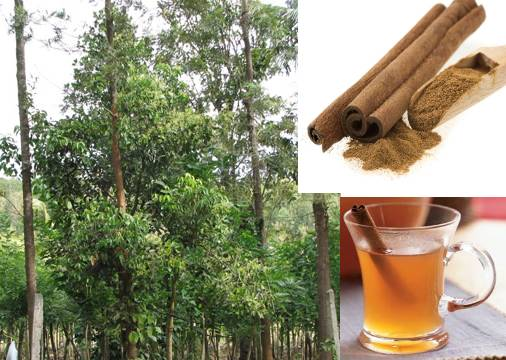 Cinnamon tree and Cinnamon cider