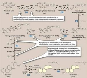 cholesterol biosynthesis