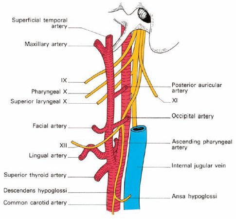 external carotid artery External Carotid Artery and Its branches