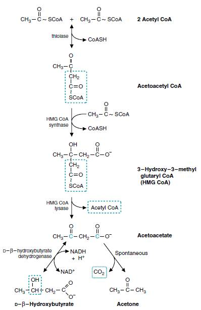 ketogenesis Ketone bodies, Ketosis and Ketoacidosis