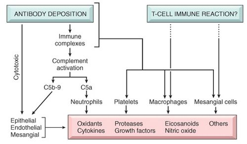 Pathogenesis of glomerualr injury