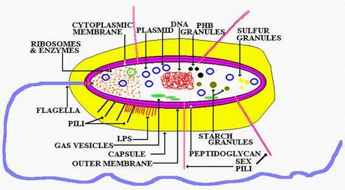 bacteria cell anatomy General Principles in Bacteriology Made Easy