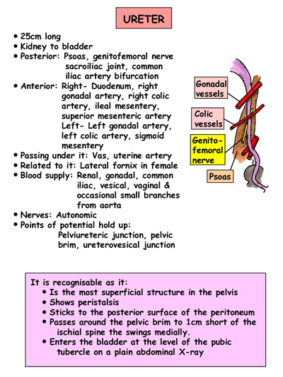 Ureter Clinical Anatomy of Ureter