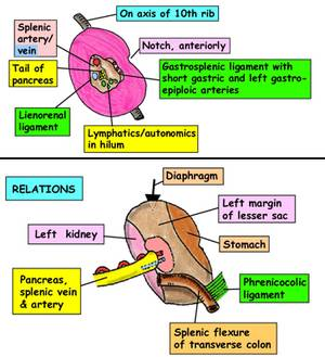 spleen anatomy Splenomegaly: Basics and Clinical Approach