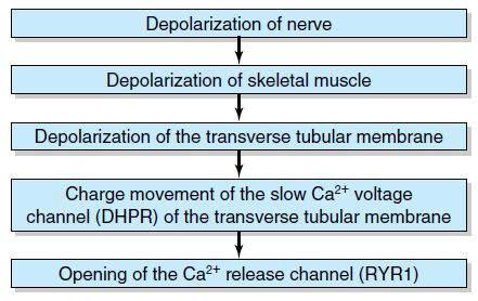 Sequence of events leading to calcium channel opening